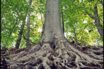 An American Beech tree growing at a place called the Salt Spring in Somerset, NY